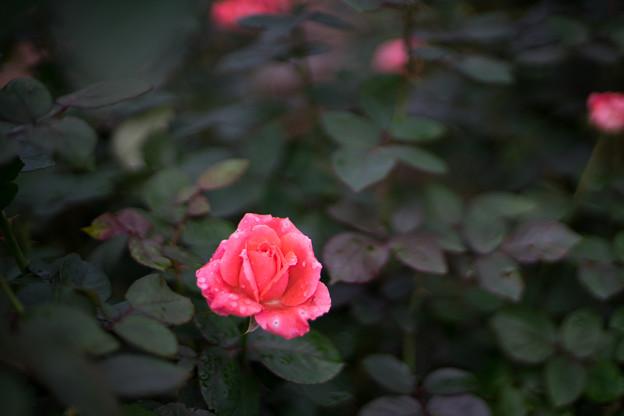 Photos: 神代植物公園【秋バラ:インターフローラ】50mm_f=1.4