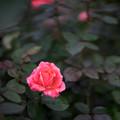 神代植物公園【秋バラ:インターフローラ】50mm_f=1.4