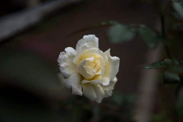 神代植物公園【秋バラ:ガーデン・パーティ】30mm_f=1.4