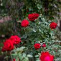 神代植物公園【秋バラ:イングリッド・バーグマン】85mm_f=1.4