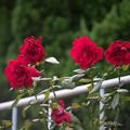 神代植物公園【秋バラ:ウルメール・ミュンスター】180mm_f=2.8