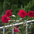 Photos: 神代植物公園【秋バラ:ウルメール・ミュンスター】180mm_f=2.8