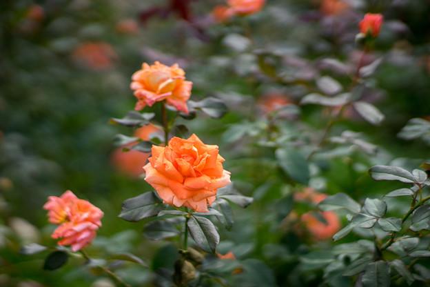 神代植物公園【秋バラ:ジャニナ】85mm_f=1.4