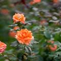 Photos: 神代植物公園【秋バラ:ジャニナ】85mm_f=1.4