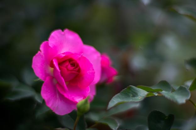 神代植物公園【秋バラ:うらら】85mm_f=1.4
