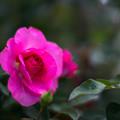 Photos: 神代植物公園【秋バラ:うらら】85mm_f=1.4