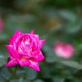 神代植物公園【秋バラ:ローズ・ゴジャール】85mm_f=1.4