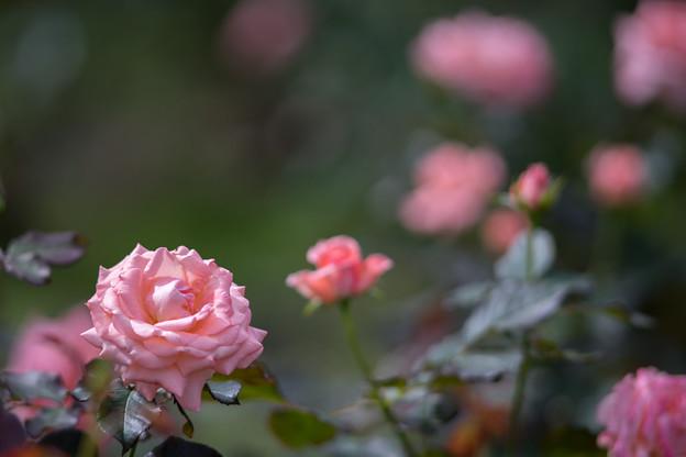 神代植物公園【秋バラ:チェリッシュ】180mm_f=2.8