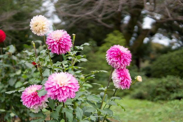 神代植物公園【ダリア:フラミンゴ】1_30mmf=1.4