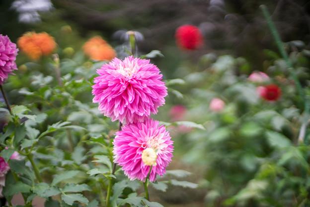 神代植物公園【ダリア:フラミンゴ】4_50mm_f=1.4