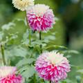 神代植物公園【ダリア:フラミンゴ】5_105mm_f=2.8銀塩