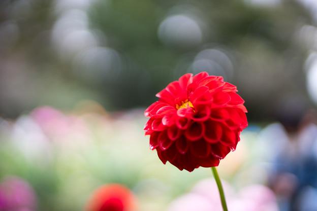 神代植物公園【ダリア:蛍火】3_50mm_f=1.4