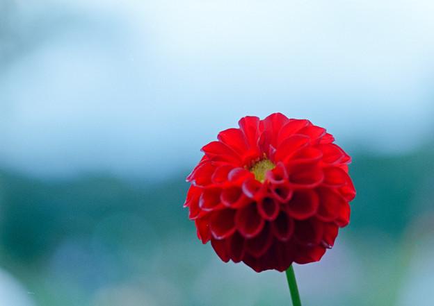 神代植物公園【ダリア:蛍火】4_105mm_f=2.8銀塩