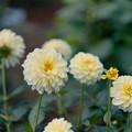 神代植物公園【ダリア:レモンシルク】2_105mm_f=2.8銀塩