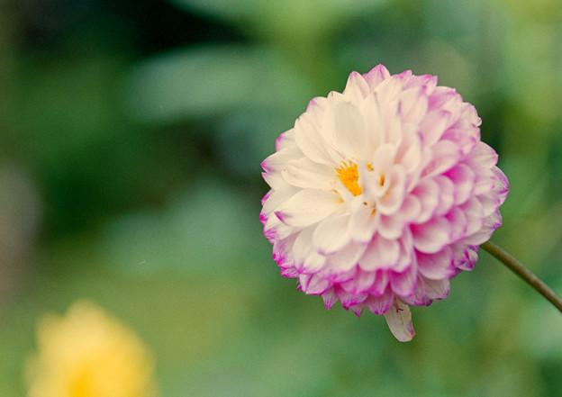 神代植物公園【ダリア:プラネタリウム】2_105mm_f=2.8銀塩