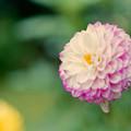 Photos: 神代植物公園【ダリア:プラネタリウム】2_105mm_f=2.8銀塩