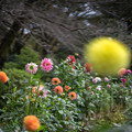 Photos: 神代植物公園【ダリア:ピンクエレガント】1_50mm_f=1.4