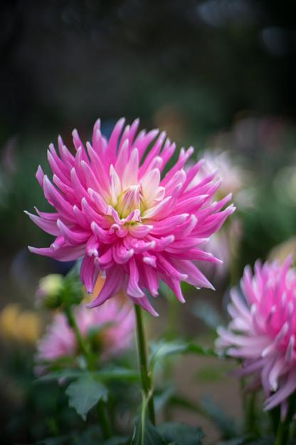 神代植物公園【ダリア:ピンクエレガント】2_50mm_f=1.4銀塩