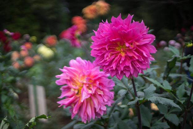 神代植物公園【ダリア:コハラコースト】50mm_f=1.4