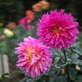 Photos: 神代植物公園【ダリア:コハラコースト】50mm_f=1.4