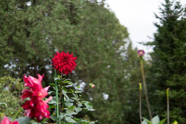 Photos: 神代植物公園【ダリア:ビッグ・ファイヤーバード】1_30mm_f=1.4