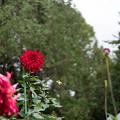神代植物公園【ダリア:ビッグ・ファイヤーバード】1_30mm_f=1.4