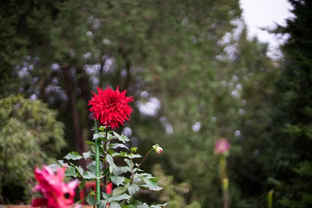 神代植物公園【ダリア:ビッグ・ファイヤーバード】2_50mm_f=1.4