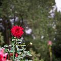 Photos: 神代植物公園【ダリア:ビッグ・ファイヤーバード】2_50mm_f=1.4