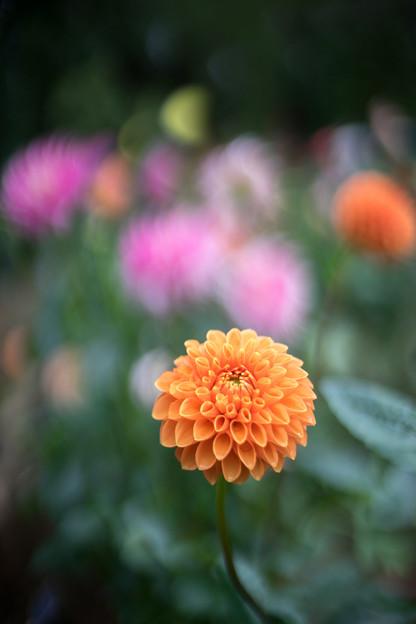 神代植物公園【ダリア:マレ】1_50mm_f=1.4