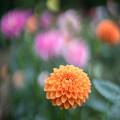 Photos: 神代植物公園【ダリア:マレ】1_50mm_f=1.4