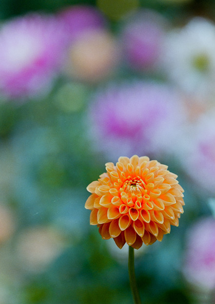 神代植物公園【ダリア:マレ】2_105mm_f=2.8銀塩