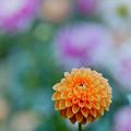 Photos: 神代植物公園【ダリア:マレ】2_105mm_f=2.8銀塩