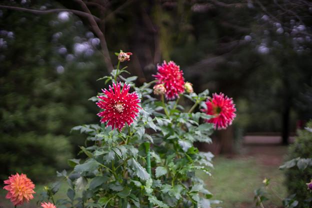 神代植物公園【ダリア:秋田の光】1_50mm_f=1.4