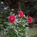 Photos: 神代植物公園【ダリア:秋田の光】1_50mm_f=1.4