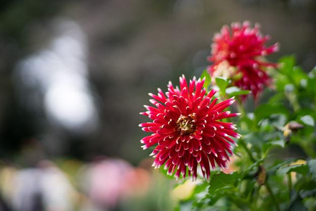 神代植物公園【ダリア:秋田の光】2_85mm_f=1.4