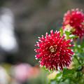 Photos: 神代植物公園【ダリア:秋田の光】2_85mm_f=1.4