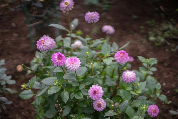 神代植物公園【ダリア:凜】1_50mm_f=1.4
