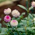 Photos: 神代植物公園【ダリア:凜】2_105mm_f=2.8銀塩