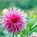神代植物公園【ダリア:アントノーマ】2_105mm_f=2.8銀塩