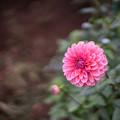神代植物公園【ダリア:アプリコット・ローザ】50mm_f=1.4
