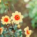 Photos: 神代植物公園【ダリア:ル・クロッコ】1_105mm_f=2.8銀塩