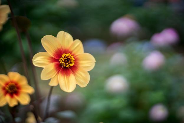神代植物公園【ダリア:ル・クロッコ】2_50mm_f=1.4