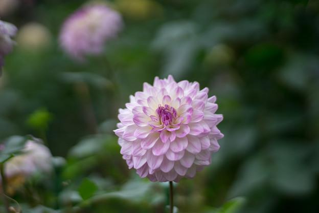 神代植物公園【ダリア:片想い】85mm_f=1.4