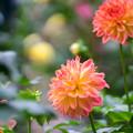 神代植物公園【ダリア:ミス・ダリア】85mm_f=1.4