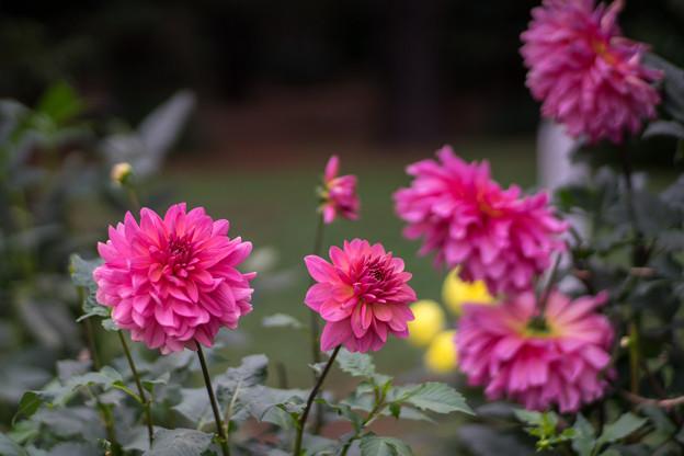 神代植物公園【ダリア:ロイヤルウディング】85mm_f=1.4