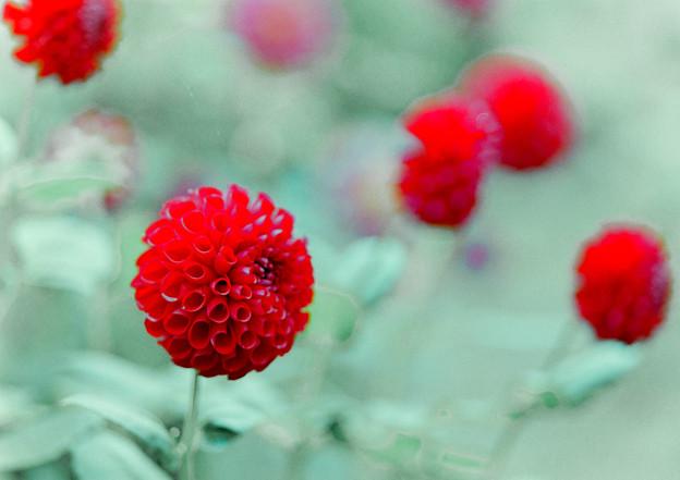 神代植物公園【ダリア:夕日の子】105mm_f=2.8銀塩