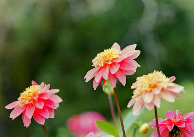 神代植物公園【ダリア:作品16-418】105mm_f=2.8銀塩