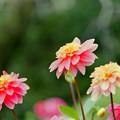 Photos: 神代植物公園【ダリア:作品16-418】105mm_f=2.8銀塩