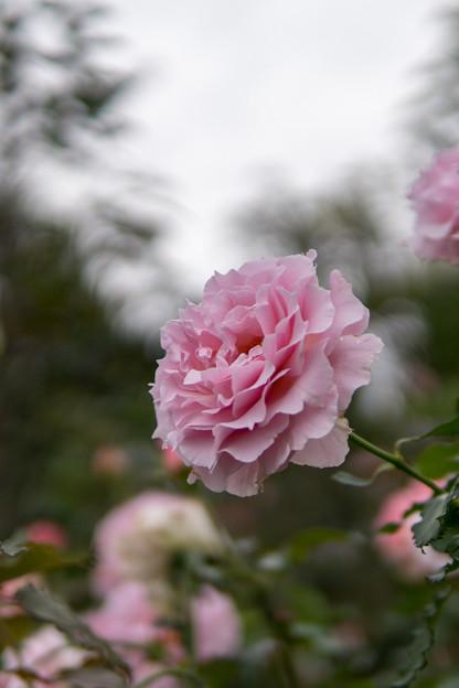 YEG【秋バラ:ラ・マリエ】4