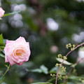 Photos: YEG【秋バラ:フォー・ユー】
